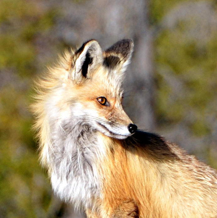 red fox face and - photo #13