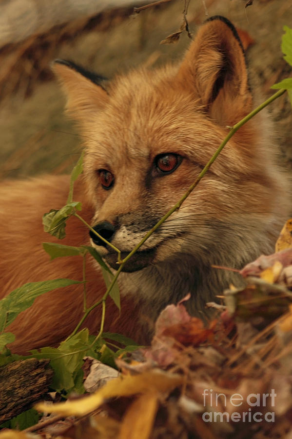 Red Fox In Autumn Leaves Stalking Prey Photograph
