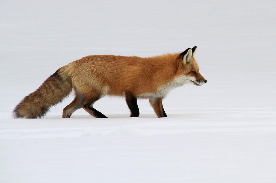 red fox in snow - photo #15