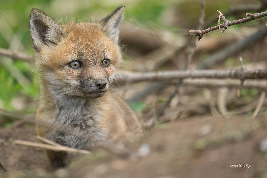 Red Fox Kit Photograph
