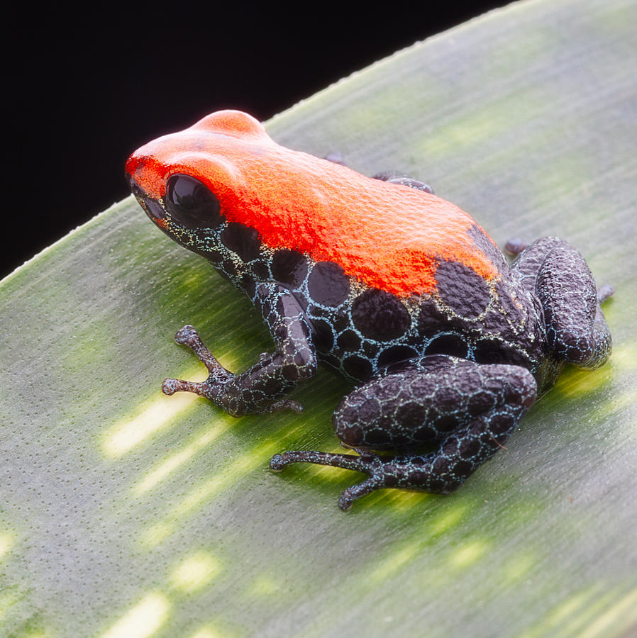 red frog Ranitomeya reticulata Photograph