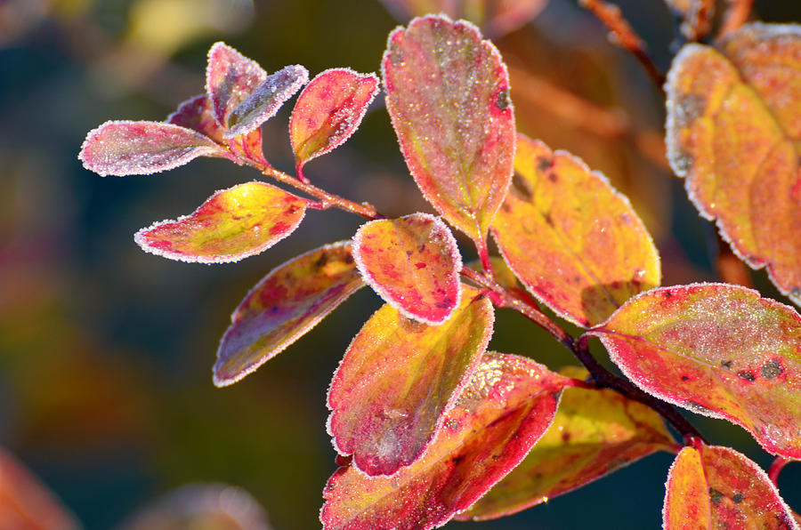Red Frosty Orange Leafs Photograph  - Red Frosty Orange Leafs Fine Art Print