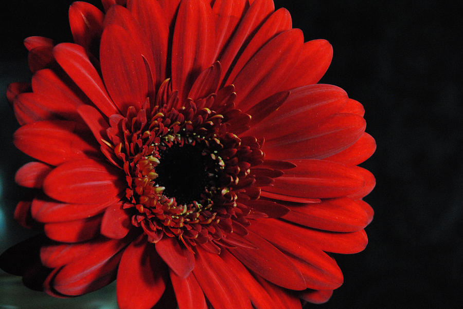 Red Gerber Daisy On Black Photograph By Cindy Boyd