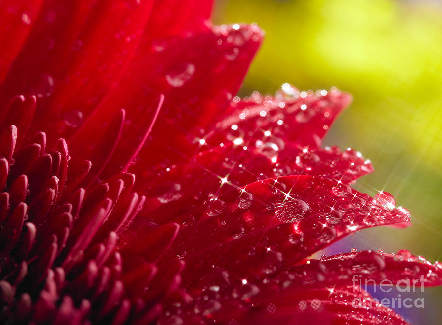 Red Gerbera Photograph  - Red Gerbera Fine Art Print