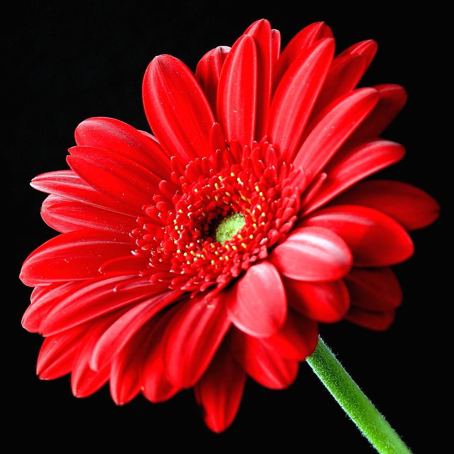 Gerbera daisy drawing comousar gerbera daisy drawing red gerbera daisy flower on izmirmasajfo