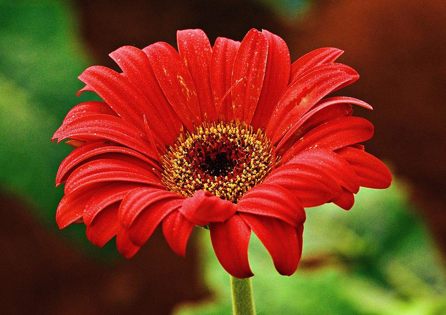 Red Gerbera Flower Photograph