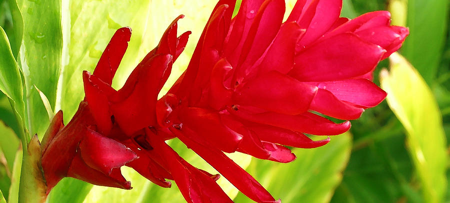 Red Ginger Flower Photograph  - Red Ginger Flower Fine Art Print