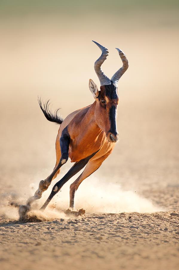 Red Hartebeest Running Photograph