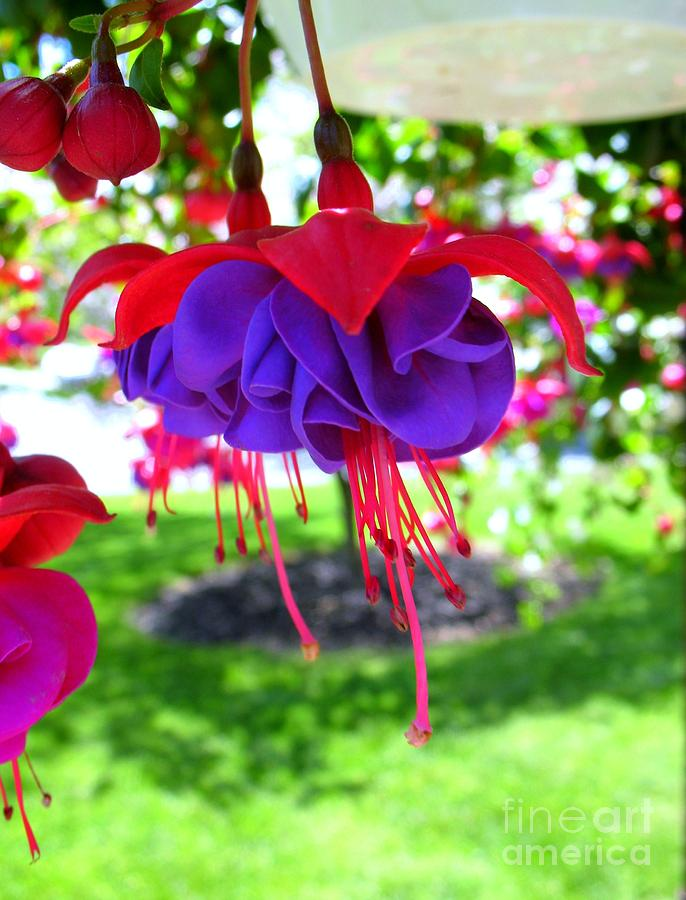 Fuchsia Photograph - Red Hats by Patti Whitten
