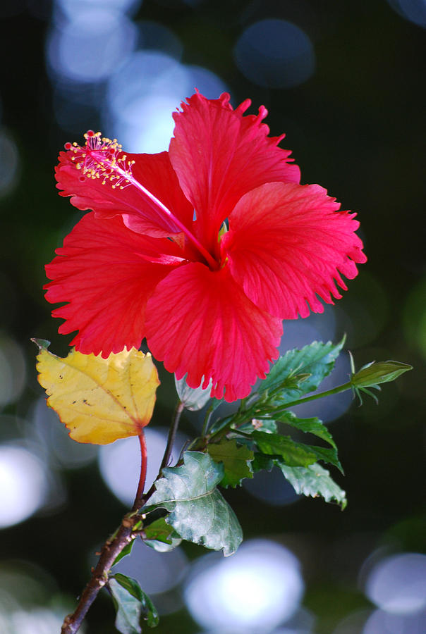 Red Hibiscus Flower Photograph