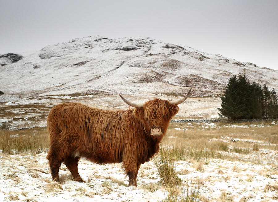 Red Highland Cow In Snow Photograph - Red Highland Cow In ... - photo#5