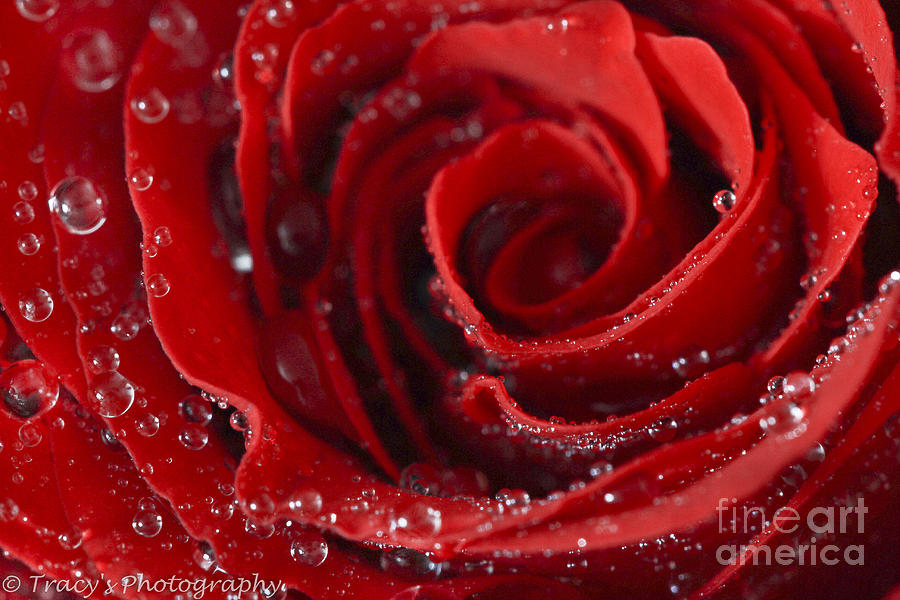 Red Hot Rose Photograph