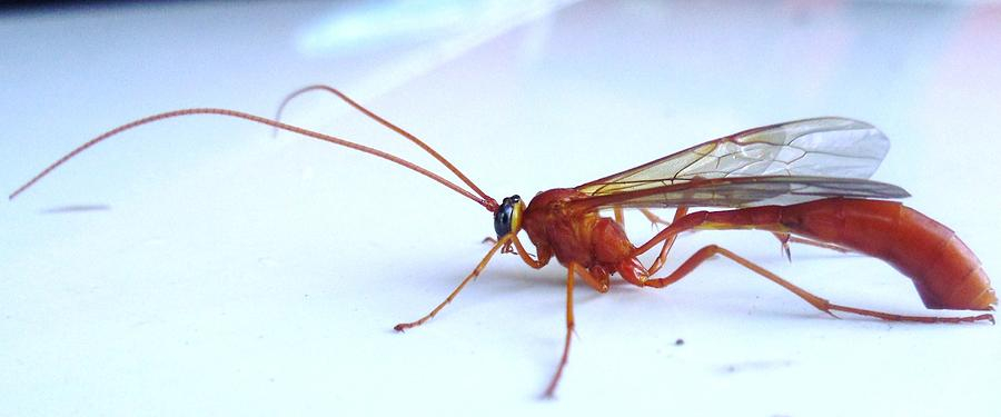 Winged red ant