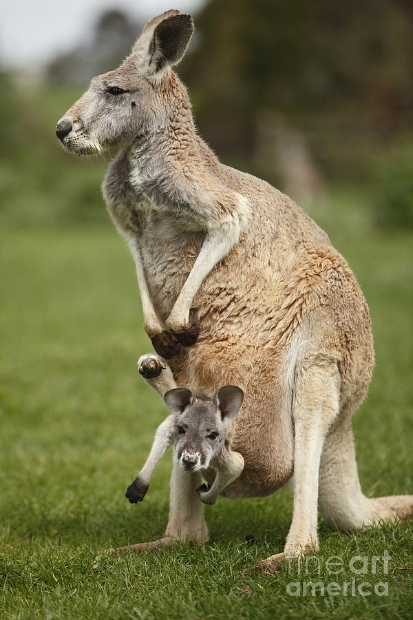 Red Kangaroo And Joey Photograph by Craig Dingle