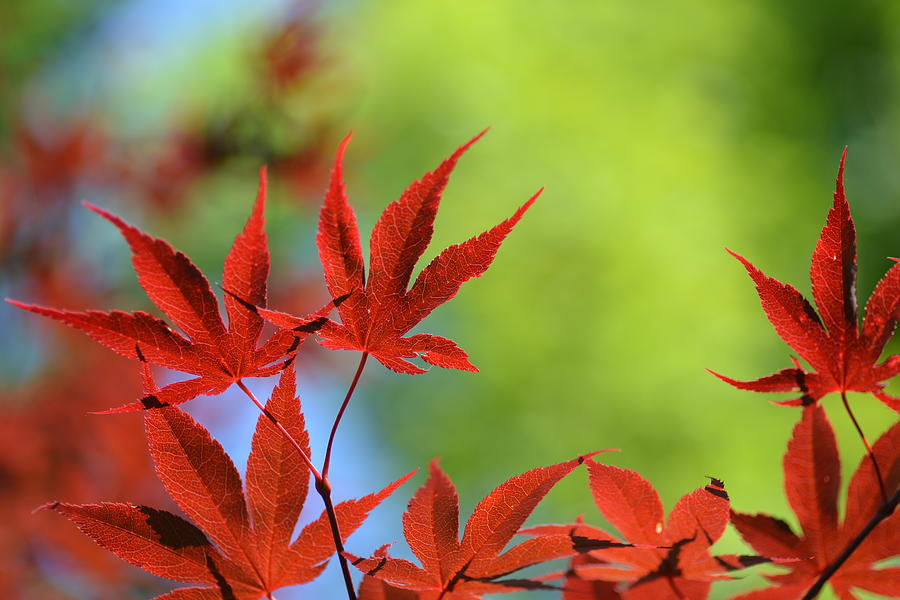 Red Leaf Photograph  - Red Leaf Fine Art Print