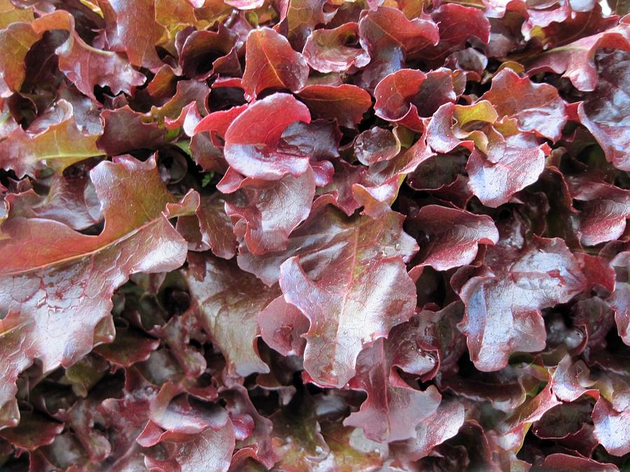 chromatography lab red leaf lettuce On the arrival at the laboratory as well as a stock lettuce cultivar butterhead green leaf red leaf 340 ± 6 625 ± 21 147 ± 4 documents similar to 7pdf.