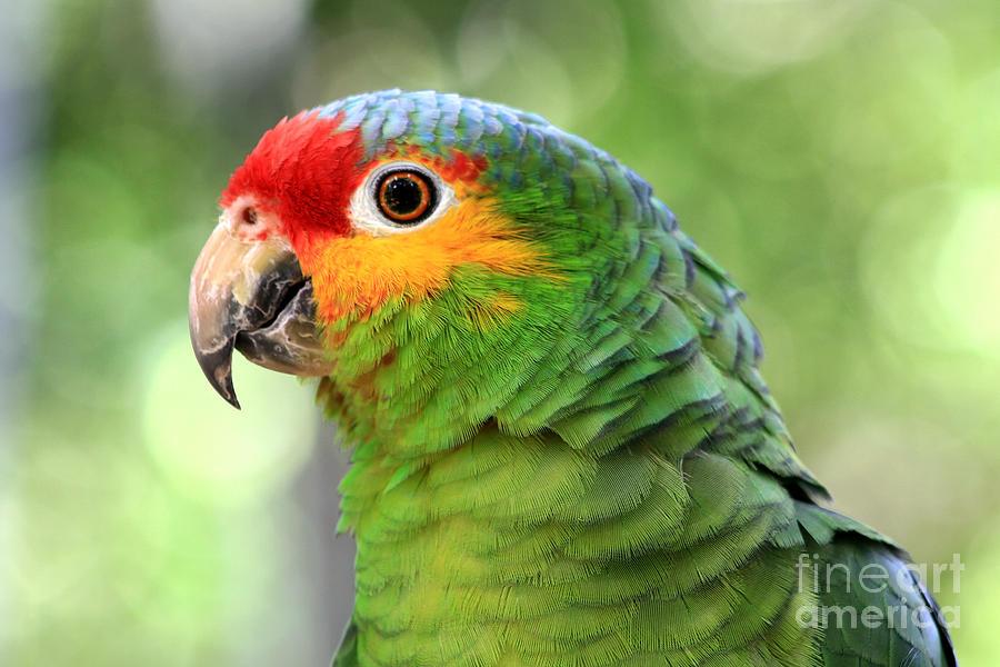 Animal Photograph - Red-lored Amazon Parrot by Teresa Zieba