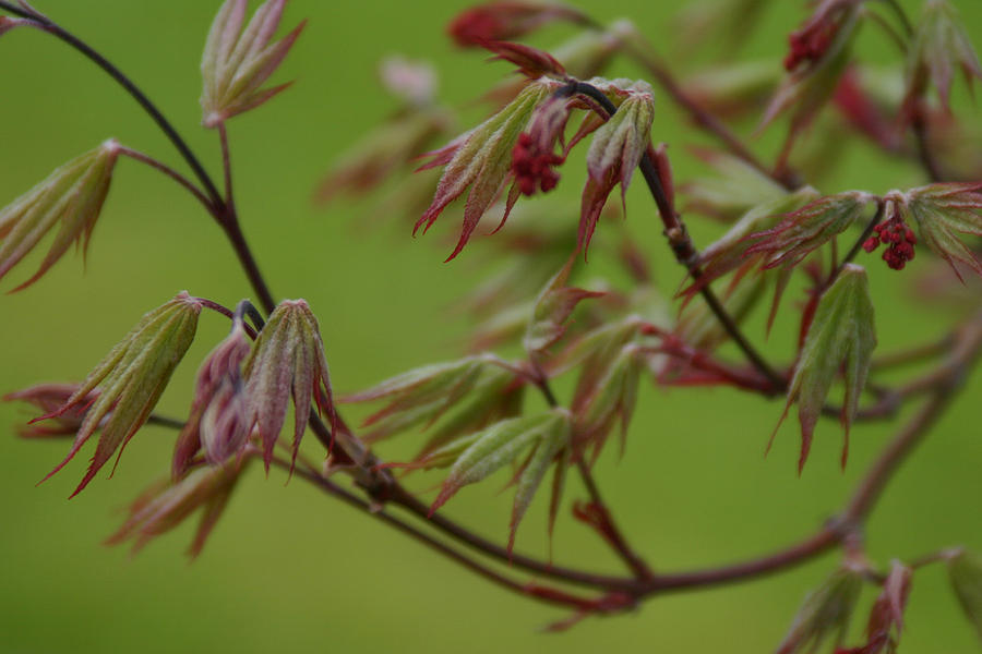 Kelly Photograph - Red Maple by Kelly Hazel