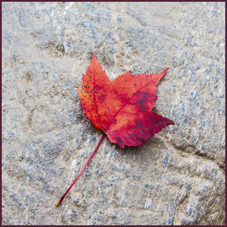 Red Maple Leaf On Granite Stone In A Square Format Photograph