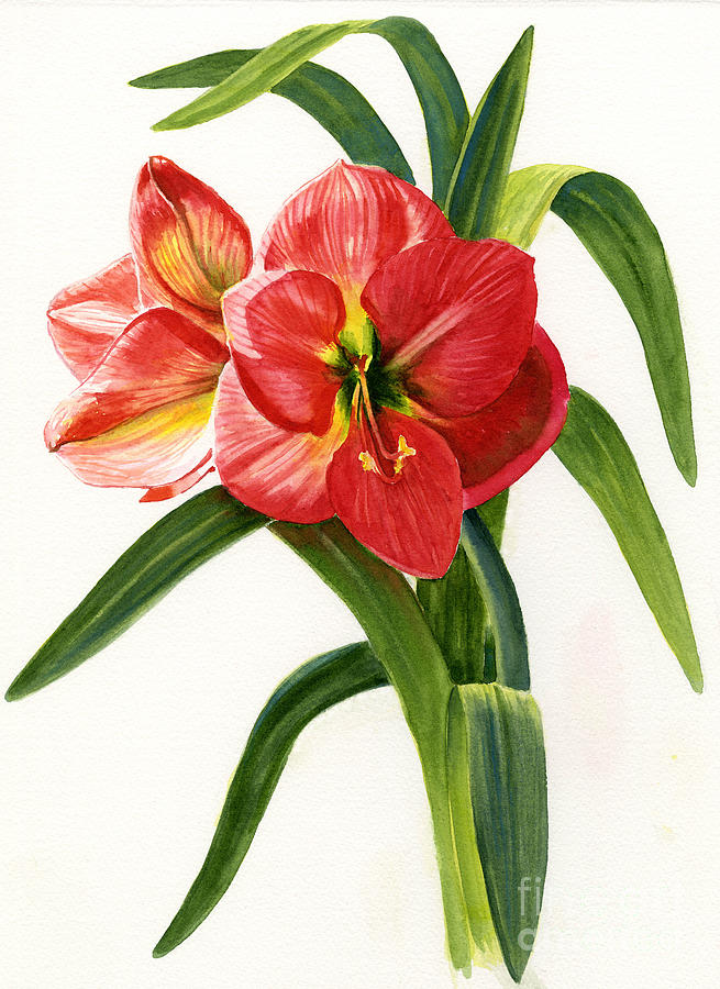 Red-orange Amaryllis Painting  - Red-orange Amaryllis Fine Art Print