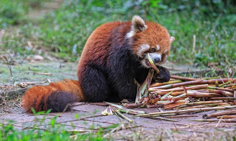 red panda eating photograph by edwin leung