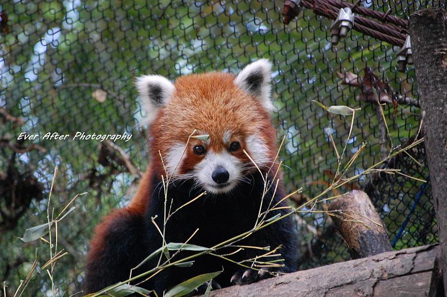 Red Panda Pyrography