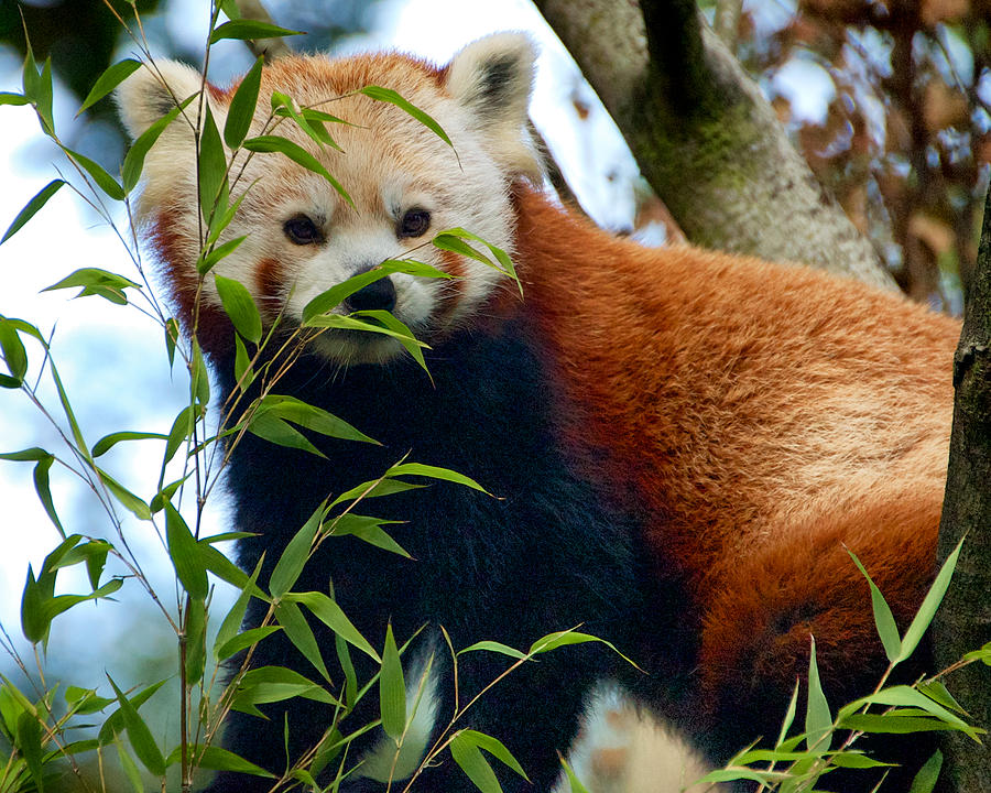 Red Panda Photograph by Trever Miller