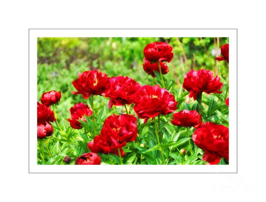 Red Peonis Photograph  - Red Peonis Fine Art Print