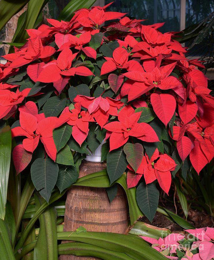Red Poinsettia Photograph  - Red Poinsettia Fine Art Print