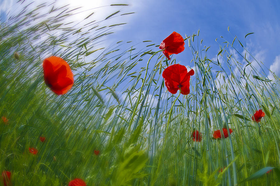 Red Poppies And Blue Sky Photograph