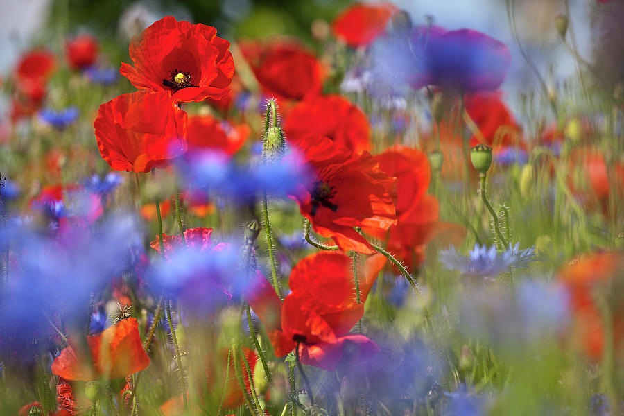Red Poppies In The Maedow Photograph  - Red Poppies In The Maedow Fine Art Print