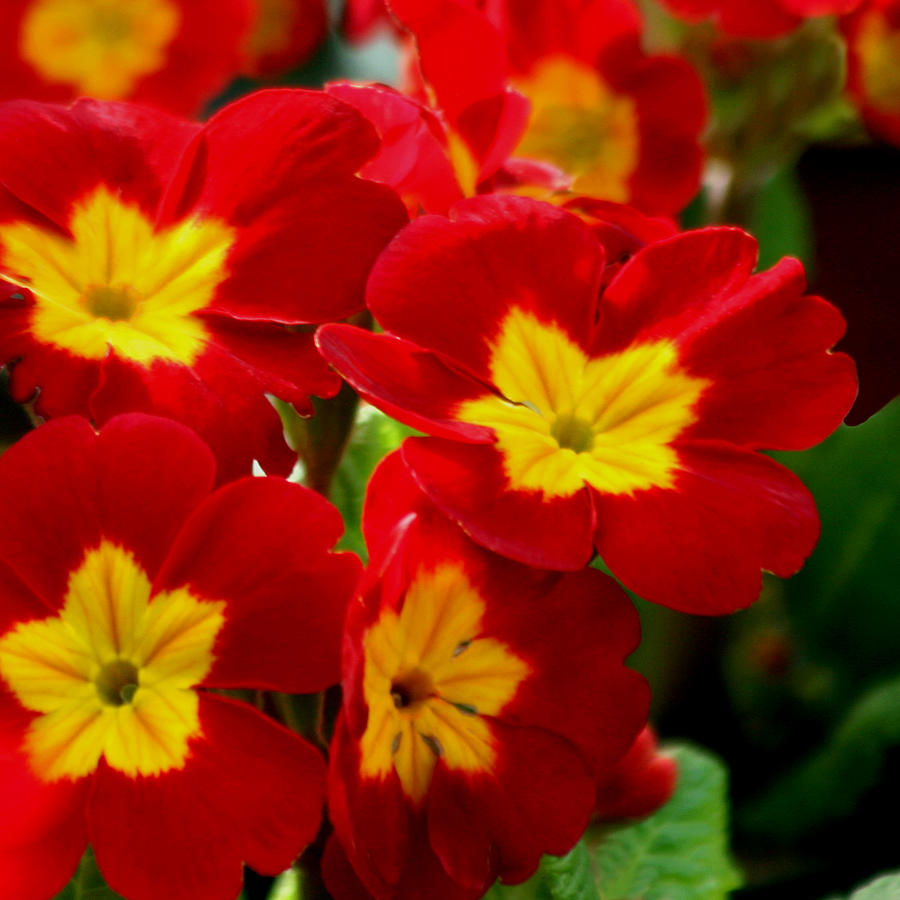 Flower Photograph - Red Primroses by Art Block Collections