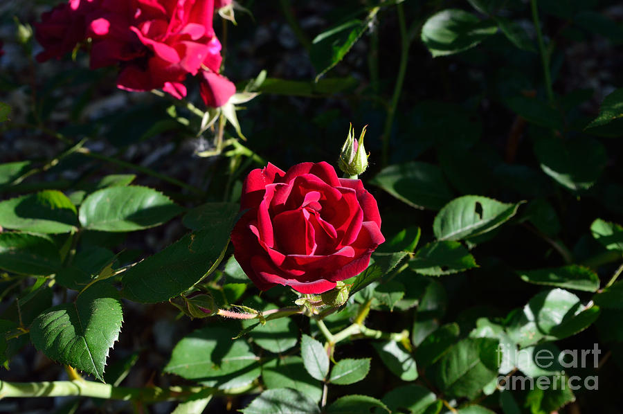 Red Rose At Dawn Photograph