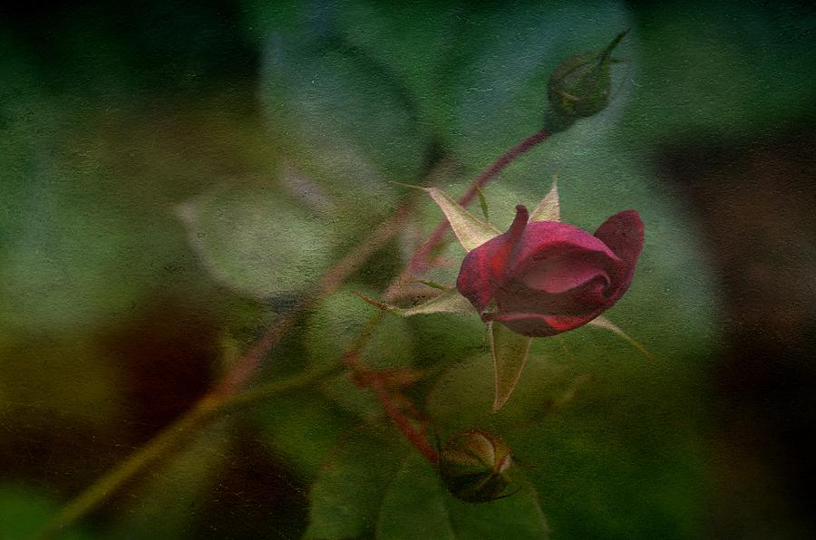 Red Rose Bud Photograph