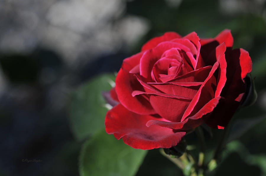 Red Photograph - Red Rose Dark by Roger Snyder