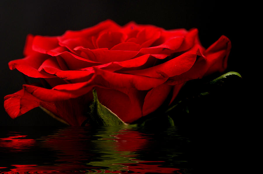 Red Rose Flood Photograph