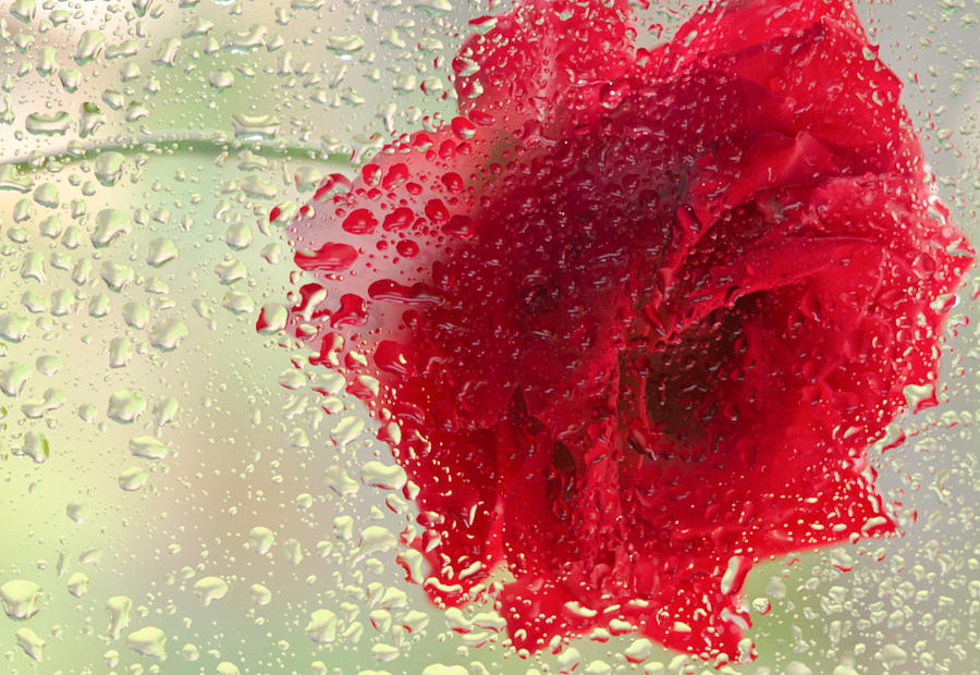 Red Rose In The Rain Photograph