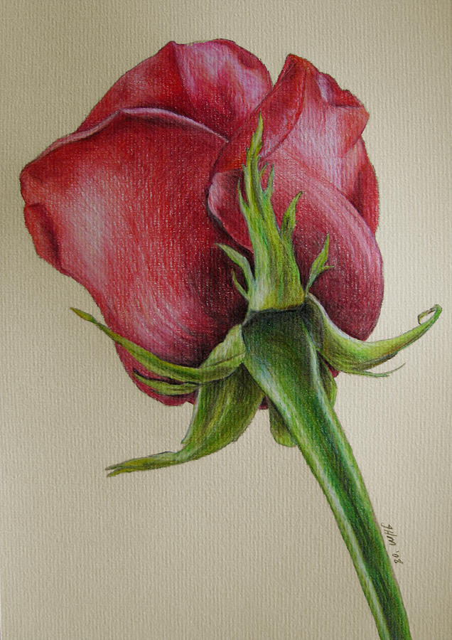 Red Rose Drawing by Jenny Haslimeier
