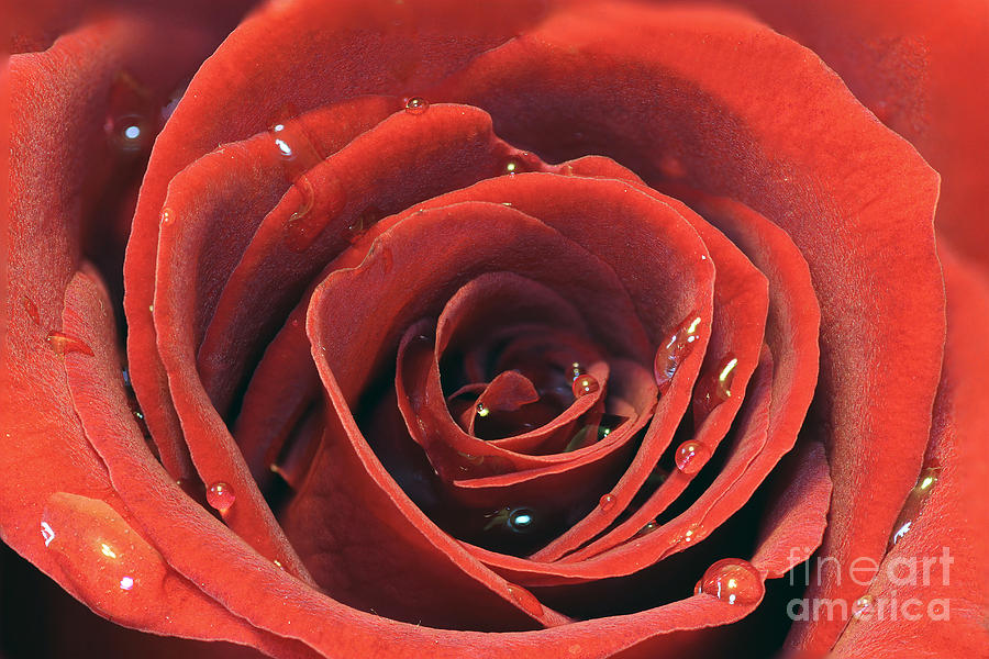 Red Rose Photograph  - Red Rose Fine Art Print
