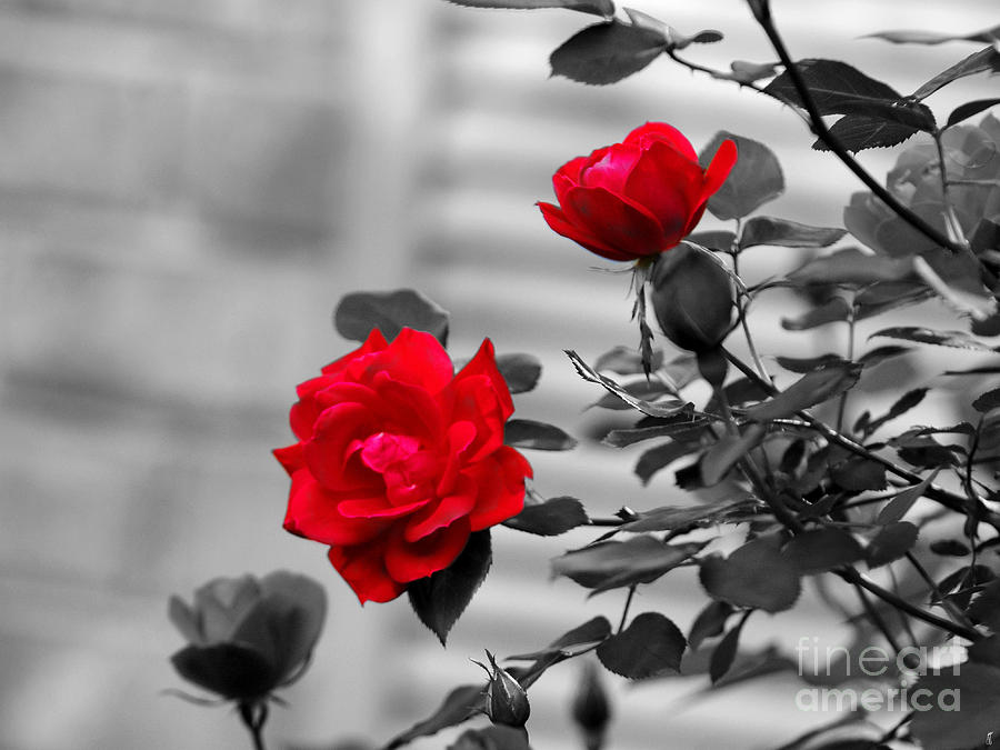 Rose Photograph - Red Roses by Jai Johnson