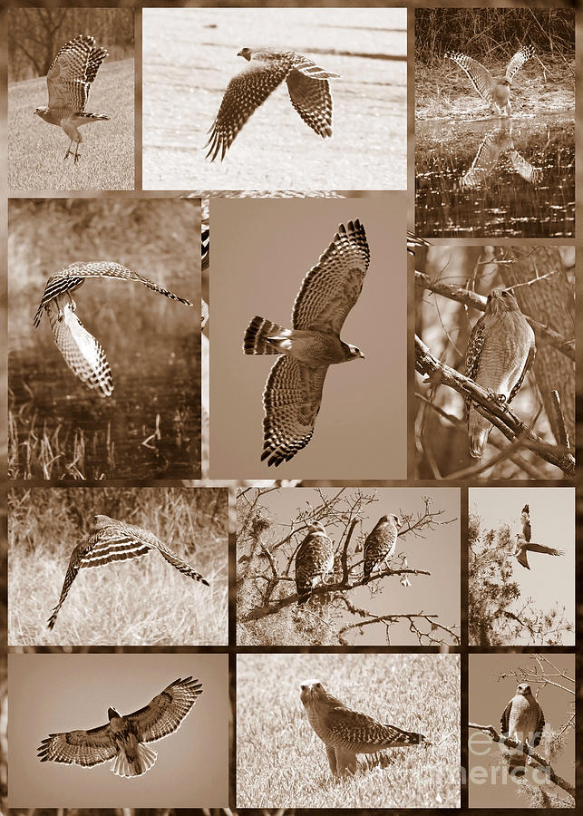Red-shouldered Hawk Poster - Sepia Photograph