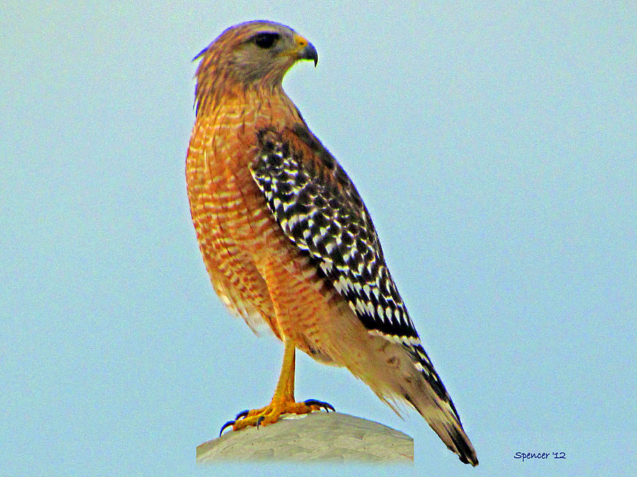 Florida red shouldered hawk foto artis candydoll