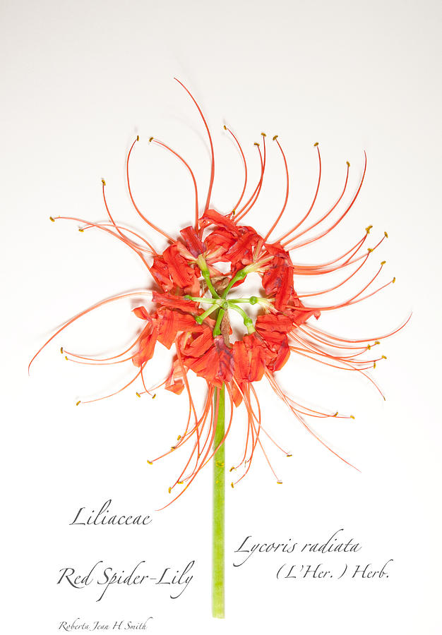 Red Spider-lily Photograph by Roberta Jean Smith