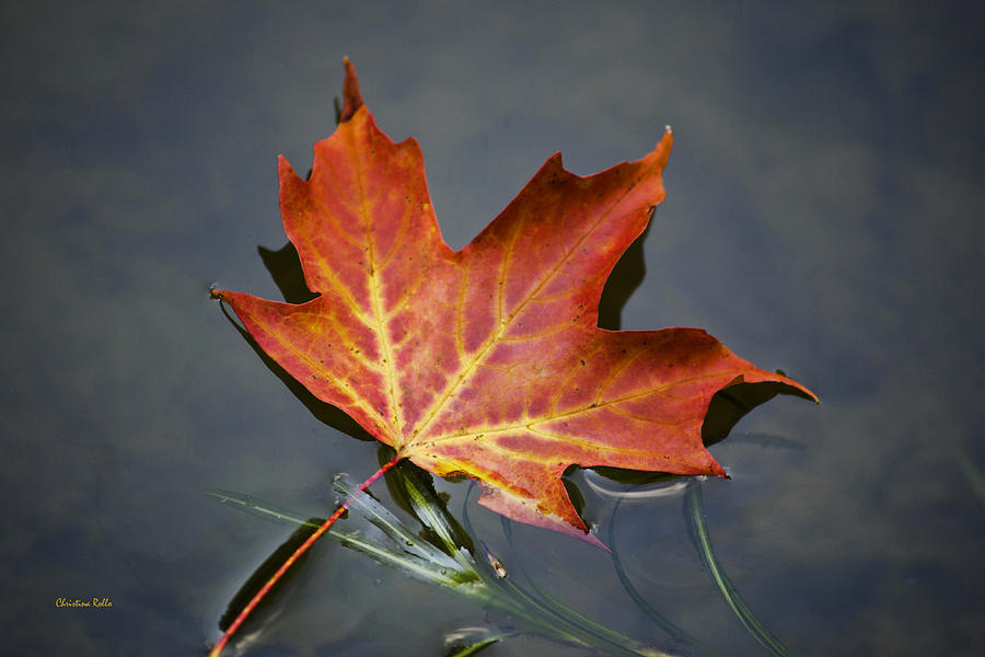 Red Sugar Maple Leaf Photograph  - Red Sugar Maple Leaf Fine Art Print
