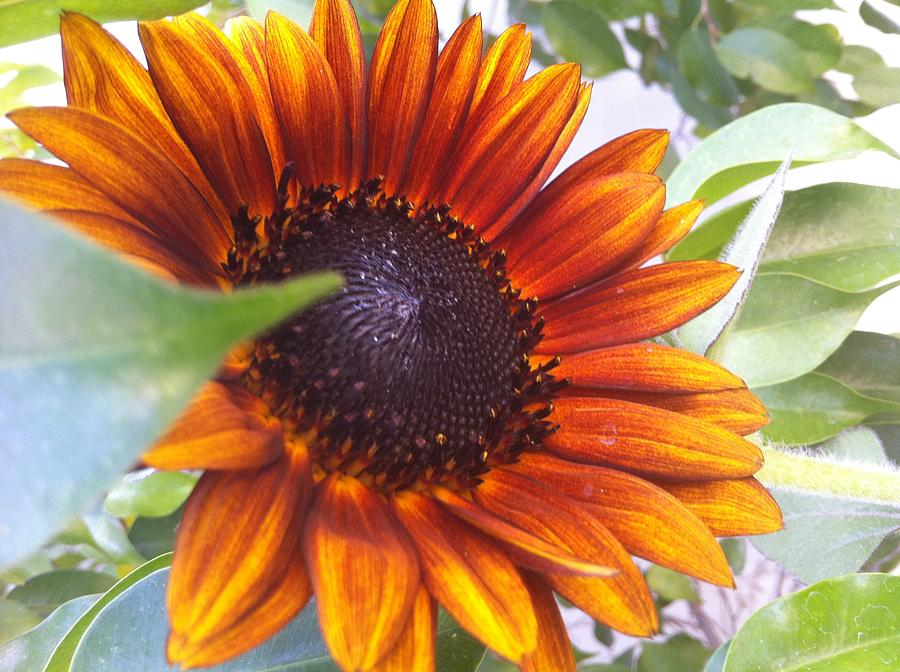 Red Sun Sunflower Photograph by Rajesh Wadhwa