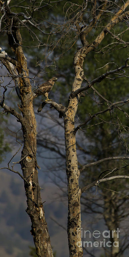 Hawk Photograph - Red-tail Hawk   #0596 by J L Woody Wooden