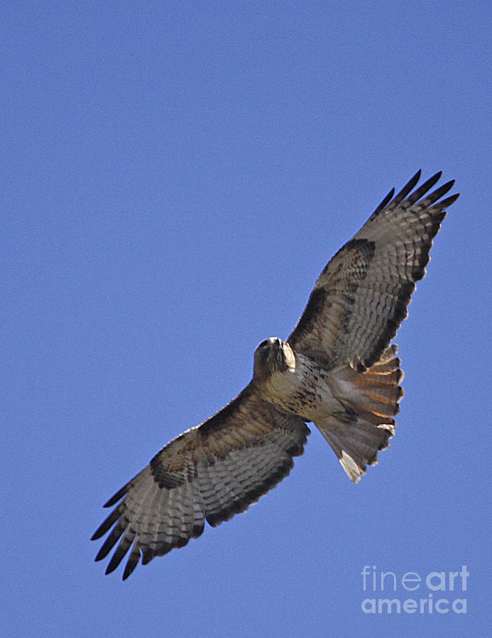 Red-tail Hawk  #1853 Photograph