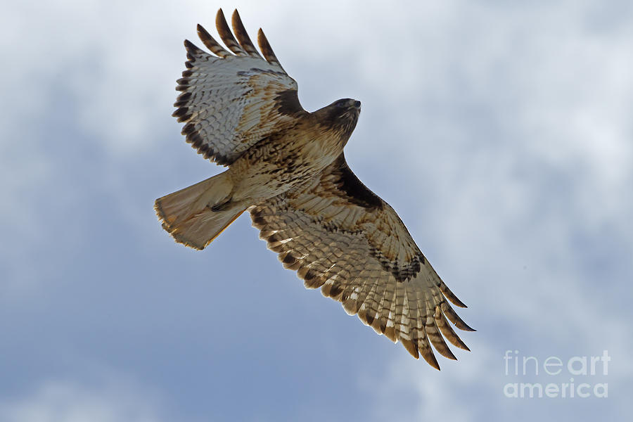 Red-tail Hawk #3094 Photograph