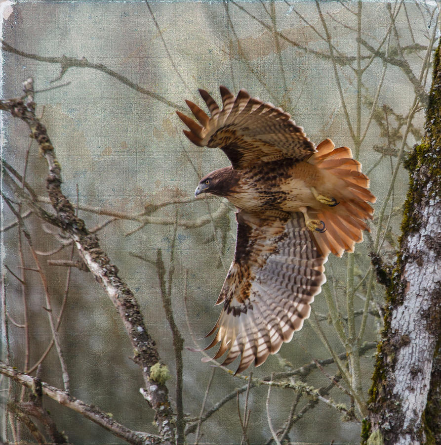 Red-tail Hawk In Flight Photograph - Red-tail Hawk In Flight by Angie Vogel