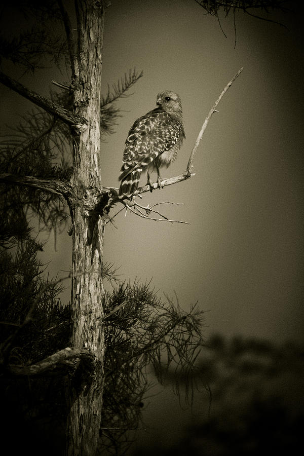 Red Tail Hawk On Loop Road Photograph